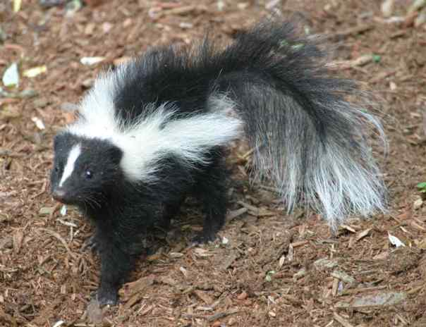 baby-skunk (3)