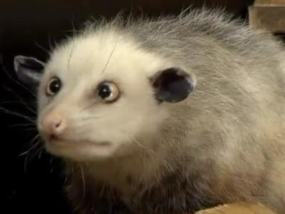 cross eyed possum