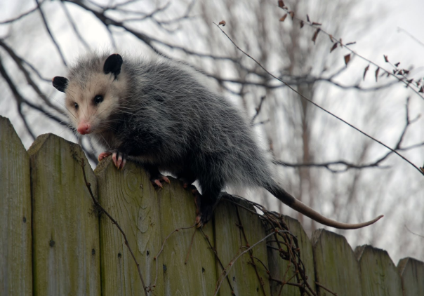 piety-possum-is-walking-away-from-all-your-bullshit