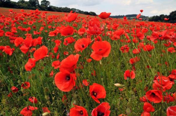 poppies_full_width