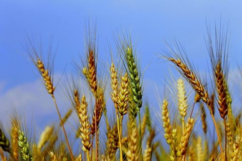 wheat_plants-500x333