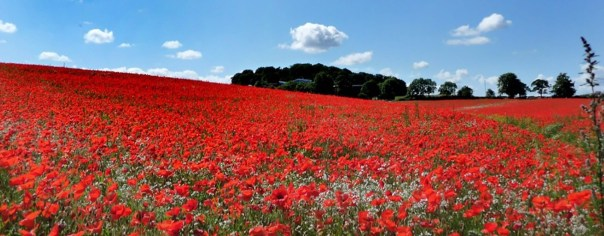 poppy_fields_1170x461