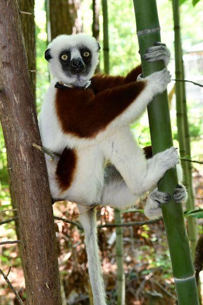 pompeia lemur