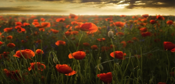 flanders poppies